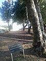 Giuseppe Nicolini tree.jpg