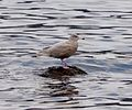 Glaucous Gull. Larus hyperboreus. - Flickr - gailhampshire.jpg