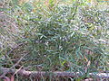Glycine clandestina plant4 (10753686564).jpg