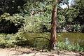 Glyptostrobus pensilis - UC Davis Arboretum - DSC03391.JPG
