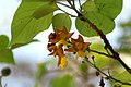 Gmelina arborea (5544078328).jpg