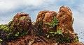 Goed ontwikkelde ademwortels (pneumatoforen) van een moerascipres (Taxodium distichum) op de scheiding van land en water 01.jpg