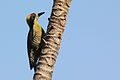 Golden-naped woodpecker.JPG