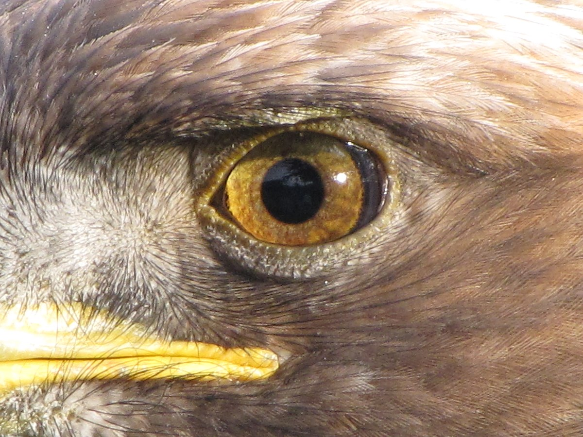 Eagle eye - Wikipedia