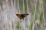 Golden Headed Cisticola.jpg