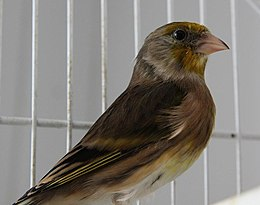 Goldfinch Canary hybrid.JPG
