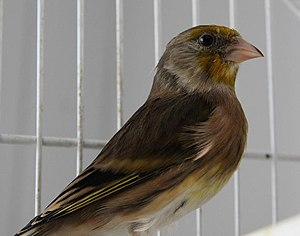 Bird hybrid - A mule, a hybrid between a domestic canary and a goldfinch.
