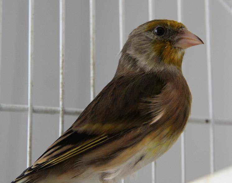 Goldfinch Canary hybrid