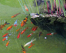 Goldfish2.cropped.jpg