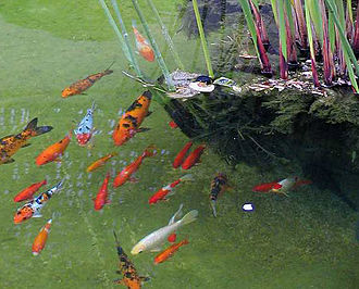 Fishkeeping - Koi (and goldfish) have been kept in decorative ponds for centuries in China and Japan.