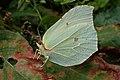 Gonepteryx rhamni (36063541503).jpg