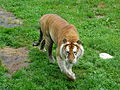 Gouden tijger in Olmense Zoo.JPG