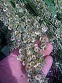 Graines de rhubarbe chez ma grand-mère (4719600539).jpg