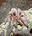 Grammostola rosea - juvenile - image 4.JPG