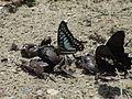 Graphium eurypylus cheronus (left) Papilio nephelus chaon (right) (7211072124).jpg