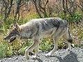 Gray wolf in Denali National Park (6068119210).jpg
