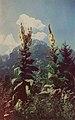 Great-Mulleins-in-Front-of-Watzmann-Mountain Koenigssee 1930s.jpg