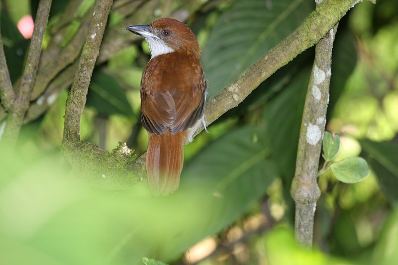 Ficheiro:Great Antshrike Taraba major female.jpg