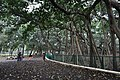 Great Banyan Tree - Howrah 2011-02-20 1676.JPG