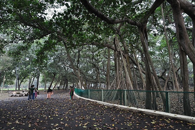 The Great Banyan (botanical name: Ficus bengha...