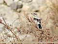 Great Grey Shrike (Lanius excubitor) (39637539661).jpg