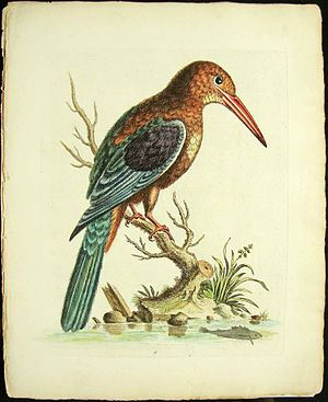 """Peter Paillou - Painting of """"Great Kingfisher"""" by Peter Paillou. Colour plate in A natural history of birds by George Edwards, 1740–50"""