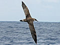 Great Shearwater RWD3b.jpg