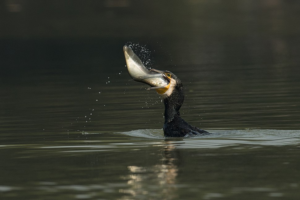 Greater cormorant in Action 01