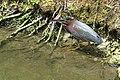 Green Heron (14827870547).jpg
