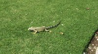 Պատկեր:Green iguana (Iguana iguana) in USA.webm