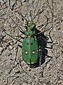 Green tiger beetle (Cicindela campestris) Sweden.jpg