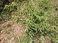Grewia hirsuta-1-muluvi-yercaud-salem-India.jpg