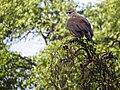 Grey-headed Fish Eagle (13970569339).jpg