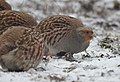 Grey partridge (32427765947).jpg