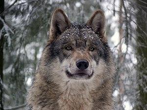 Grey - Image: Grey wolf P1130270