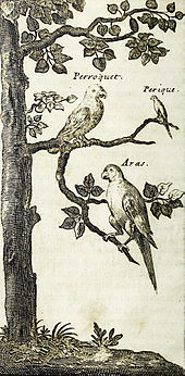 "A sepia line drawing showing three macaws sitting on the branches of a tree; they are labelled ""Papagay"", ""Perique Papagay"" and ""Aras""."