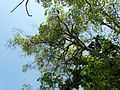 Gulikadam (Bengali- গুলিকদম্ব) (3393837835).jpg