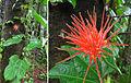 Gurania makoyana (9418519025).jpg