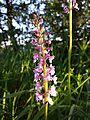 Gymnadenia conopsea sl2.jpg