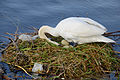 Höckerschwan mit Nest, Cygnus olor, nests with eggs 04.JPG
