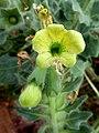 H.albus-flor-2.JPG