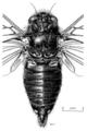 HEMI Cicadidae Maoricicada mangu mangu m.png