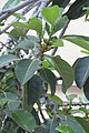HKCL 香港中央圖書館 CWB tree green leaves 高山榕 Ficus altissima Oct-2017 IX1 03.jpg