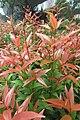 HK 西營盤 Sai Ying Pun 香港 中山紀念公園 Dr Sun Yat Sen Memorial Park plants red leaves Sept 2017 IX1 01.jpg