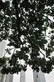 HK 香港大會堂紀念花園 City Hall Memorial Garden tree June 2017 IX4 tree leaves 吊瓜樹 Sausage 臘腸樹 Kigelia Pinnata.jpg