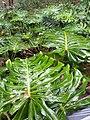 HK ML 半山區 Mid-levels 堅尼地道 Kennedy Road 香港公園 Hong Kong Park flora green leaves February 2020 SS2 13.jpg