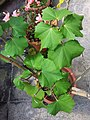 HK Mid-levels High Street clubhouse green leaves plant February 2019 SSG 69.jpg
