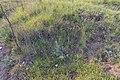 Halbtrockenrasen LasseeGF-081IMG 0800.jpg