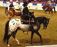 Half Arabian Ladies Western Sidesaddle (2668749735).jpg