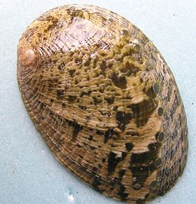 Haliotis virginea shell.jpg